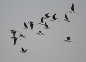 Black-Winged Stilts flying
