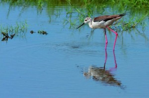 BlackWingedStilt_Sani_Wetlands